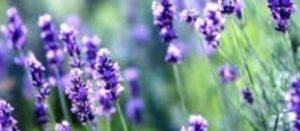 心身から美容・健康に大活躍な香り【ラベンダー】精油